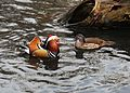 Mandarin Duck pair.jpg
