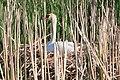Mandj98 - Nesting Swan I (by).jpg