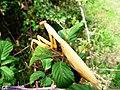 Mantis religiosa, (Αλογάκι της παναγίας) - panoramio.jpg