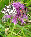 Marbled White and Six-spot Burnets - geograph.org.uk - 1438579.jpg