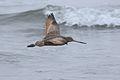Marbled godwit, Limosa fedoa, Moss Landing (Elkhorn Slough and beach), California, USA. (30853030911).jpg