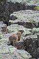 Marmot 489.jpg
