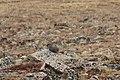 Marmota flaviventris (29862514526).jpg
