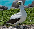 Masked Booby, British Indian Ocean Territory (7413023236).jpg
