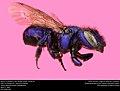 Mason Bee or Blueberry Bee (Megachilidae, Osmia sp.) (32964548140).jpg