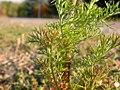 Matricaria maritima leaves (3622708606).jpg