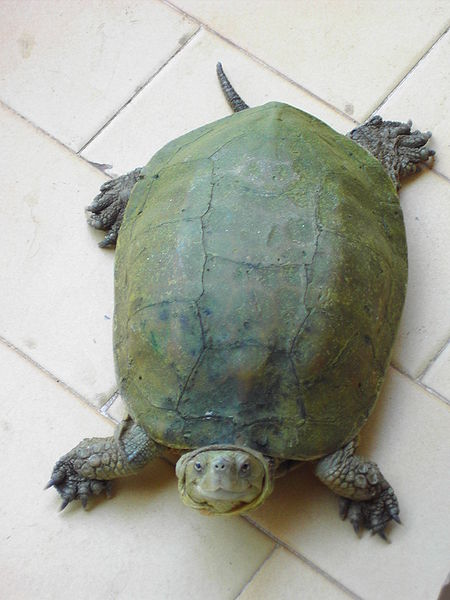 Female Spanish Turtle