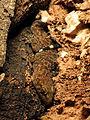 Mediterranean House Gecko (16412928511).jpg