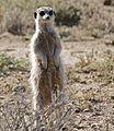 Meerkat (Suricata suricatta) sentinel looking out ... (31721712844).jpg