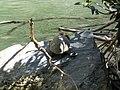 Megalopotamos Schildkröte 01.jpg