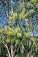 Melaleuca argentea.jpg