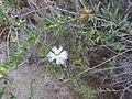 Melaleuca thymifolia (8044796033).jpg