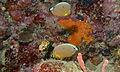 Melon Butterflyfishes (Chaetodon trifasciatus) (8498469514).jpg