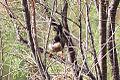 Menetrie's Warbler (Sylvia mystacea) (8079435134).jpg