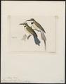 Merops albicollis - 1820-1863 - Print - Iconographia Zoologica - Special Collections University of Amsterdam - UBA01 IZ16800325.tif