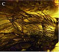 Mesembrinella caenozoica thorax profile view.jpg