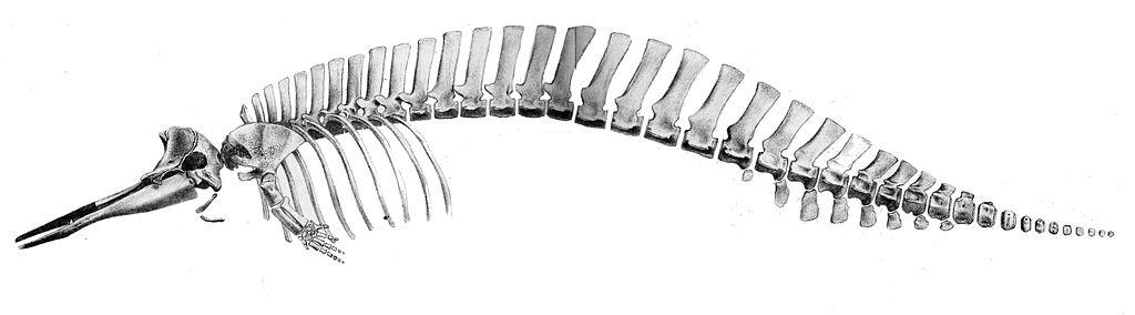 Mesoplodon grayi