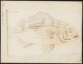 Mesoprion johnii - - Print - Iconographia Zoologica - Special Collections University of Amsterdam - UBA01 IZ12900313.tif