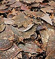 Metal coated skeletonized leaves.jpg
