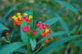 Mexican Butterfly Weed Asclepias curassavica Flower Cluster 3008px.JPG
