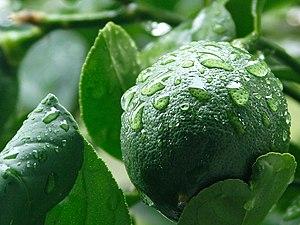 Meyer lemon - An unripened Meyer lemon