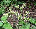 Micranthes pensylvanica -比利時 Ghent University Botanical Garden, Belgium- (9227008151).jpg