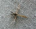Midge. Chironomidae - Flickr - gailhampshire.jpg