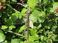 Migrant Hawker Dragonfly - Aeshna mixta - geograph.org.uk - 625643.jpg