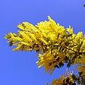 Mimosa-0009.jpg
