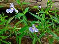 Mimulus ringens - Allegheny monkey flower.jpg