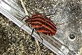 Minstrel bug (NH Štěpnice) (15702542568).jpg