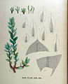 Mnium stellare — Flora Batava — Volume v18.jpg