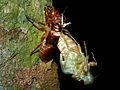 Molting Cicada (Cicadidae) (8440089229).jpg