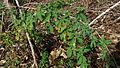 Momordica charantia L. (6192055486).jpg