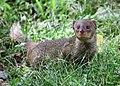Mongoose 5 (32151641192).jpg