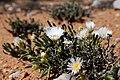 Monilaria scutata ssp. obovata (Aizoaceae) (23546076048).jpg