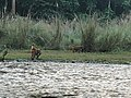 Monkeys of Chitwan National Park trying to cross the river.jpg