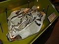 Montanoceratops.JPG