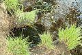 Moorwasser Torfboden Venner Moor MG 2425.jpg