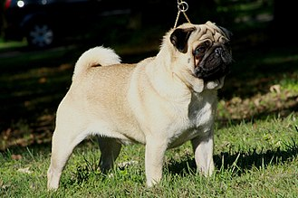 Pug - A fawn Pug, the most common colouring.