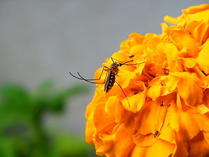 A mosquito feeding on a marigold flower, India.