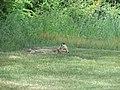 Mother fox in Castine, Maine image 1.jpg