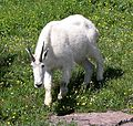 Mountain Goat (Oreamnos americanus) in Logan Pass - Flickr - Jay Sturner.jpg