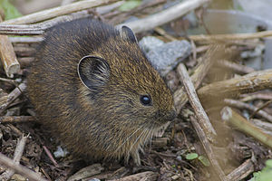 Moupin pika - In Sikkim, India