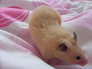 Syrian hamster variations - A female cream hamster
