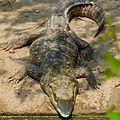 Mugger Crocodile At Delhi Zoo.jpg