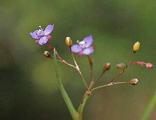 <i>Murdannia</i> genus of plants