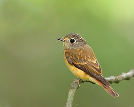 Muscicapa ferruginea -side-8 (2).jpg