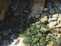Musgo en rocas Acapulco.jpg