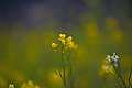 Mustard (Brassica) flower D35 2157 01.jpg